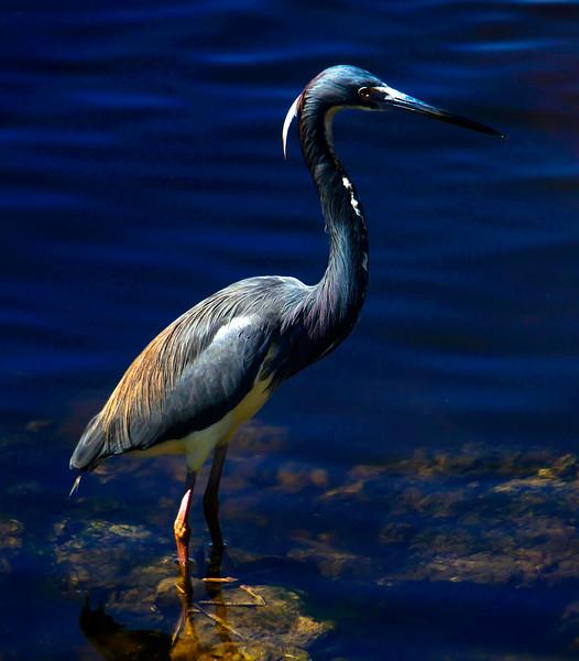 """Tricolored Heron, J. N. """"Ding"""" Darling NWR, Sanibel Island, FL"""