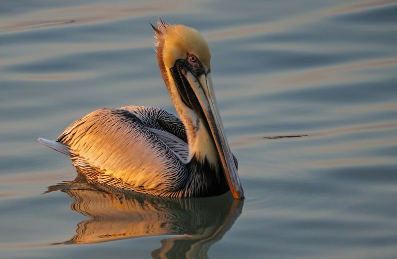 Pelican at Sunset.   Florida March 2014