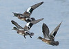 American Wigeons taking off.  ( 2 males and a female)