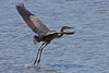 Blue Heron taking off....