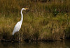 Great Egret, Brigantine NWR, NJ