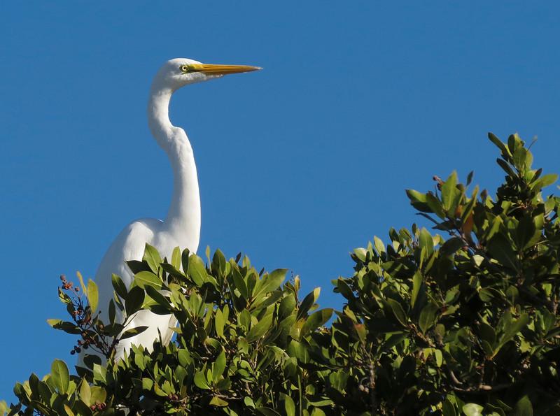 Great Egret, Sanibel Is., Florida, Jan 2012