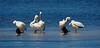 """White Pelicans with Comorants,  J. N. """"Ding"""" Darling NWR, Sanibel Island, FL"""