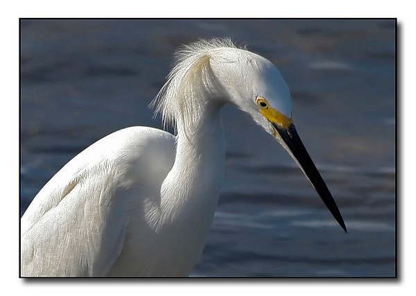 Snowy Egret (94437291)