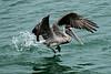 pelican-603