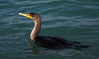 Double Crested Cormorant, Florida  March 2014