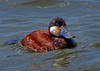 Ruddy Duck, Spring Lake, NJ