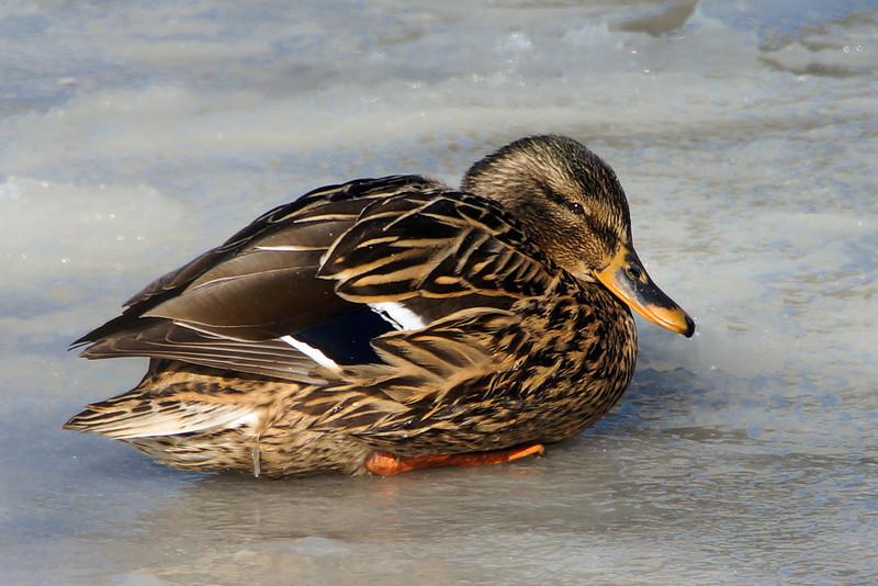 Mallard (female) on an icy pond.