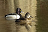 Ringed-necked Ducks, Male and Female