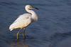 Juvenile Little Blue Heron in its first year white plumage