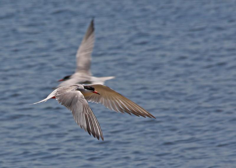 Common Terns at Sandy Hook National Seashore