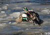 American Wigeon (male)