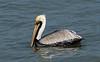 Brown Pelican, Sanibel Island, FL