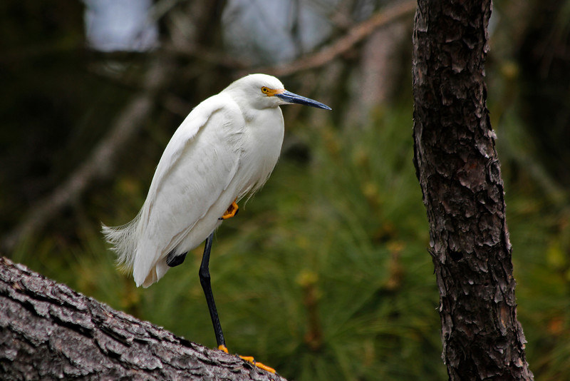 Snowy Egret, resting on one foot.  Chincoteague NWR, Virginia, April 2012
