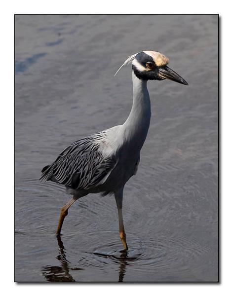 Yellow Crested Night Heron (93151756)