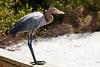 Reddish Egret,  Sanibel Island, FL