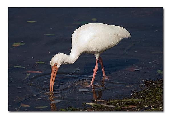 White Ibis (94394207)
