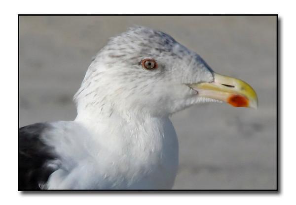 Greater Black Backed Gull (103527635)