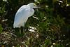"Snowy Egret, (juvenile), J. N. ""Ding"" Darling NWR, Sanibel Island, FL"