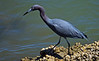 Little Blue Heron, Sebastian Inlet, Florida March 2014