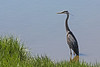 Blue Heron..