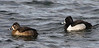 Ringed-neck Ducks (female & male)