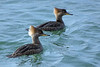 Hooded Mergansers ( female )