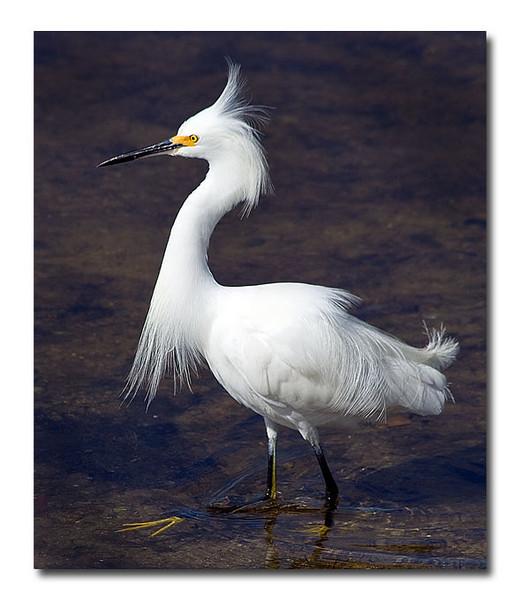 Snowy Egret (92628973)