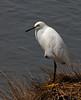 Snowy Egret, Brigantine NWR, NJ