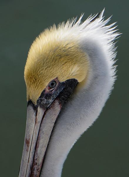 Brown Pelican Profile, Naples, Florida