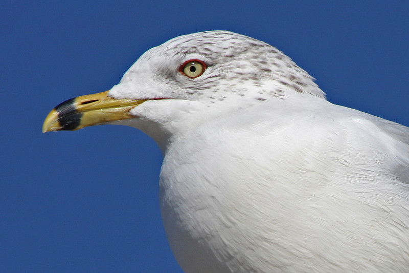 Ringed Bill Gull