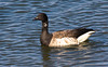 Brant...a small black necked goose.  About the size of a mallard duck.  Small white neck marking on the adults.