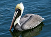 Brown Pelican, Naples, Florida, Jan 2012