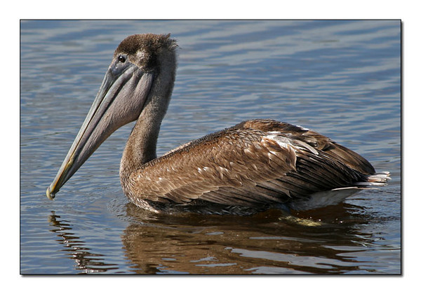 Brown Pelican immature coloration (92668897)
