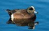 American Wigeon, Shark River, Neptune City, NJ  Jan 2014