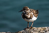 Ruddy Turnstone, Ft. Pierce, Florida  March 2014