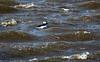 shorebirds-308