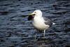 shorebirds-177a