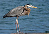 Great Blue Heron, Ft. Pierce, Florida  March 2014