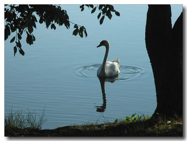 Swan at Early Morning (49348589)