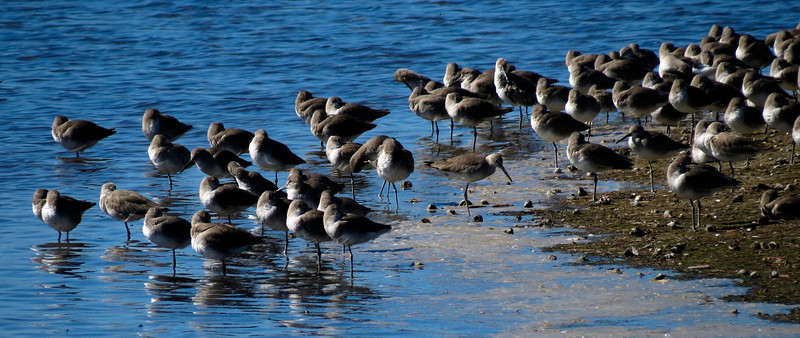 Willets - A large flock resting at Sanibel Is., Florida