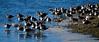 Willets - A large flock resting at Sanibel Is., Florida