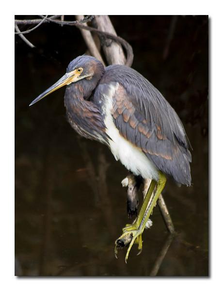 Louisiana Heron (93994190)