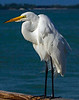 Great Egret-140