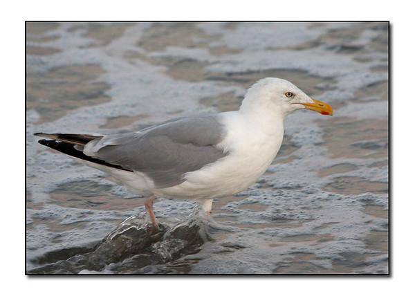 Herring Gull in the Surf (103734627)