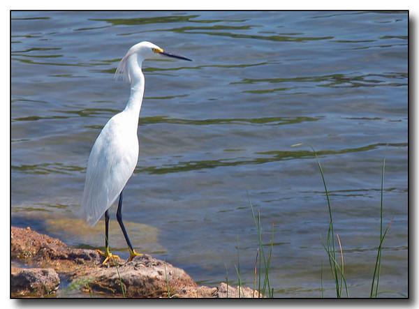 Snowy Egret (49348667)