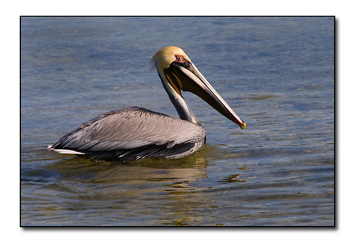 Brown Pelican (92593916)