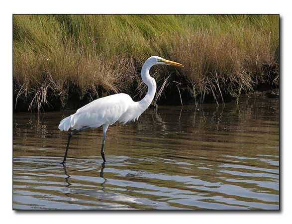 Great  Egret (86859664)