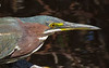 Little Green Heron, Sanibel Is. Florida, Jan 2012