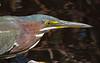 Little Green Heron, Sanibel Is. Florida, Jan 2012